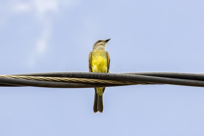 Yellow bird on light wire. Photo of yellow bird on light wire royalty free stock photography
