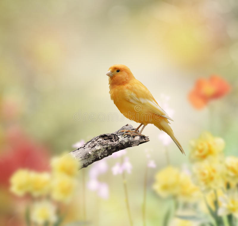 Yellow Bird. Perched In The Garden stock image