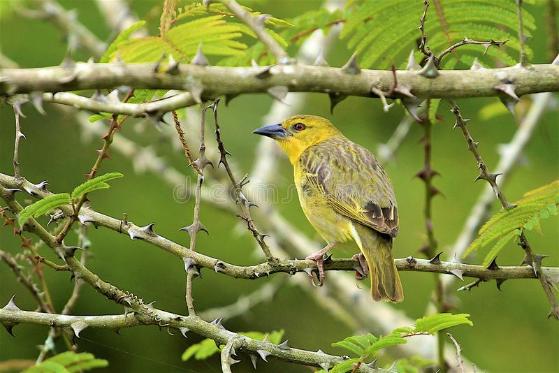 Yellow bird. Sitting on a branch, South Africa