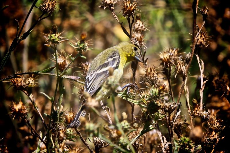 Yellow bird. Tiny little yellow and black bird feeding and flying in the fields of dried stock photos