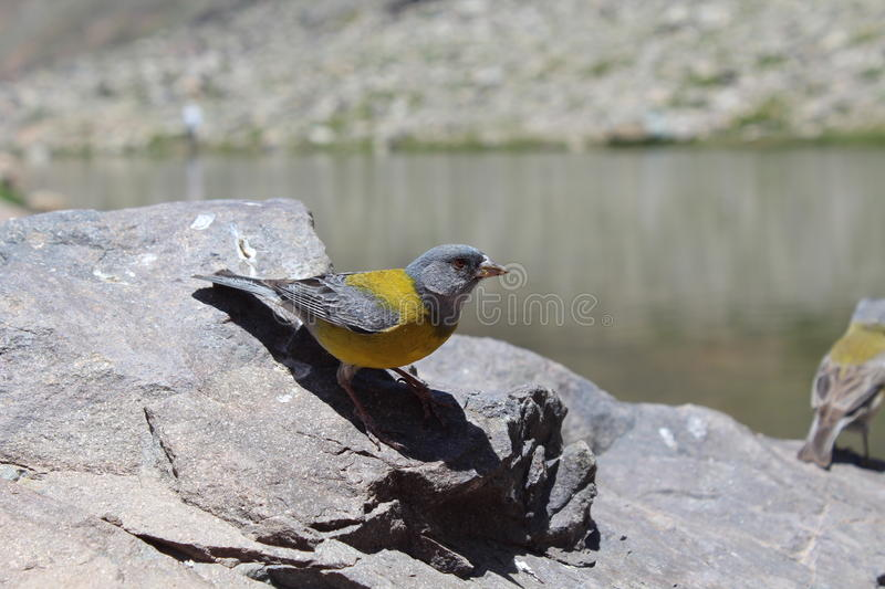 Yellow bird about to fly. stock photography
