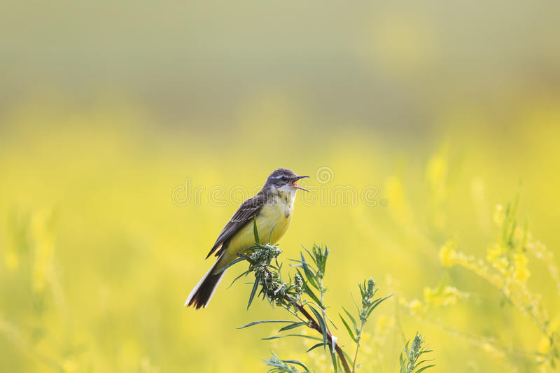 Yellow bird Wagtail flew on a summer blossoming meadow and sing. Little yellow bird Wagtail flew on a summer blossoming meadow and sings stock photo
