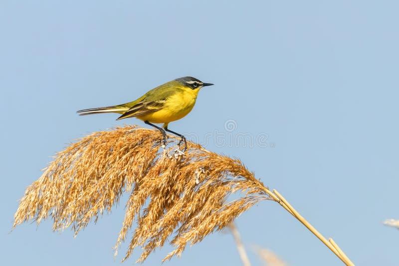 Yellow Bird, Western Yellow Wagtail Motacilla flava. Wildlife stock photography