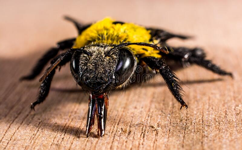 Yellow Black Bee On Brown Wooden Surface Free Public Domain Cc0 Image
