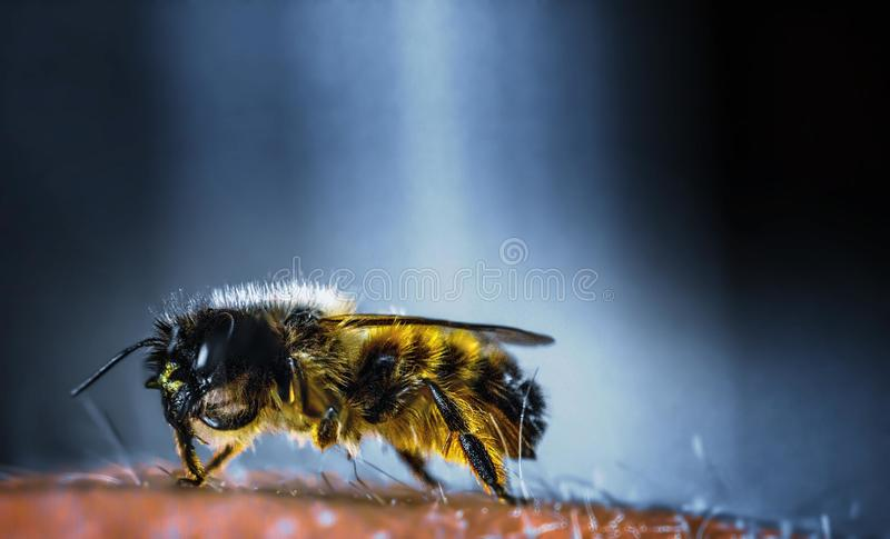 Yellow and Black Bee in Macro Photography stock photos
