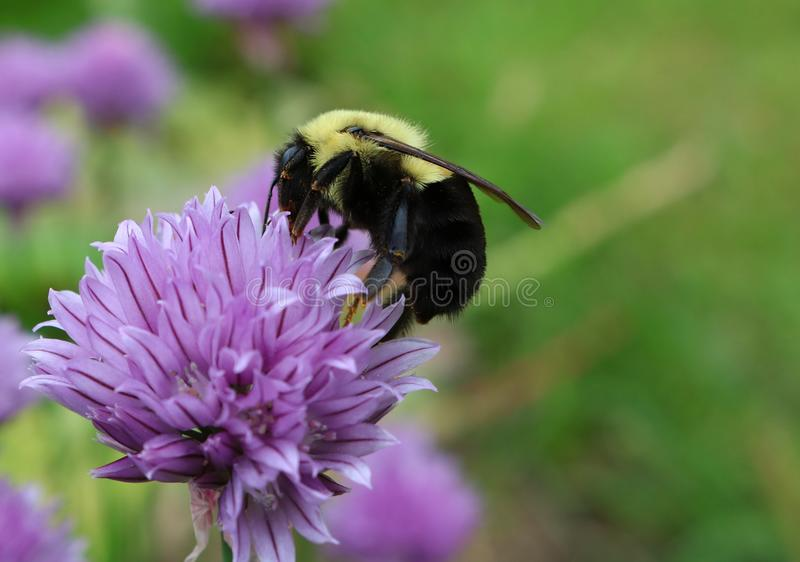 Yellow and black  bee on purple chive flower. Closeup of Bumblebee pollinating mauve chive plant royalty free stock image