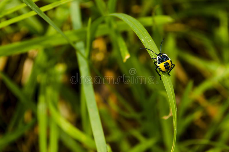 A yellow and black beetle on a blade of grass stock images