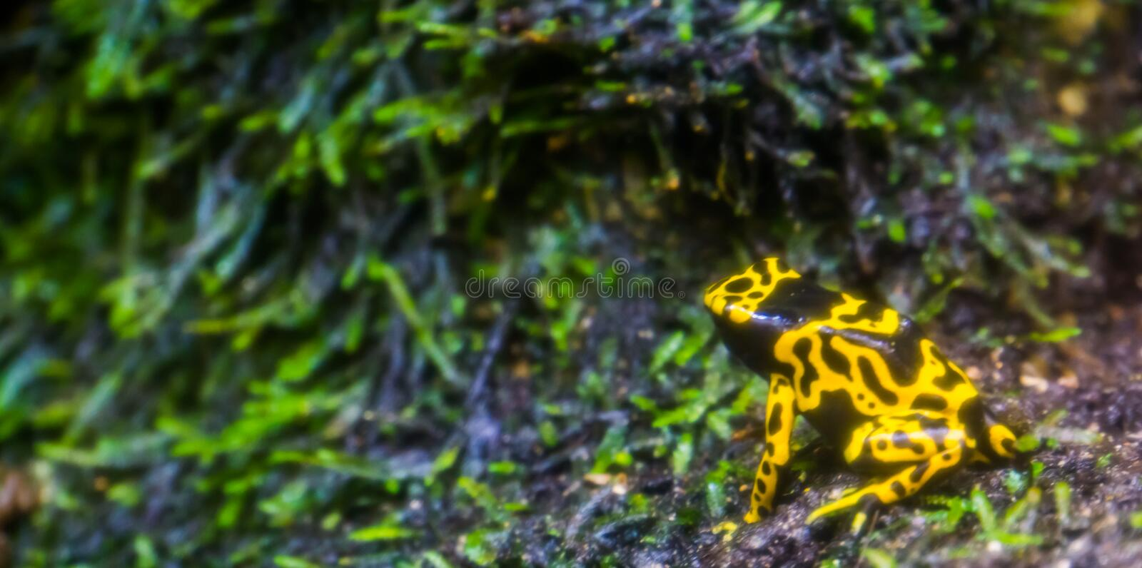 Yellow and black bumblebee poison dart frog in macro closeup, popular amphibian pet, Tropical animal specie from the rainforest of. A yellow and black bumblebee royalty free stock photography