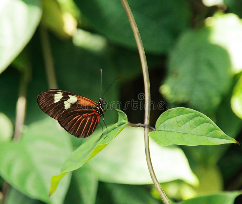 Yellow and Black Butterfly on the Green Leaf. Yellow and Black Butterfly Resting on the Green Leaf royalty free stock images