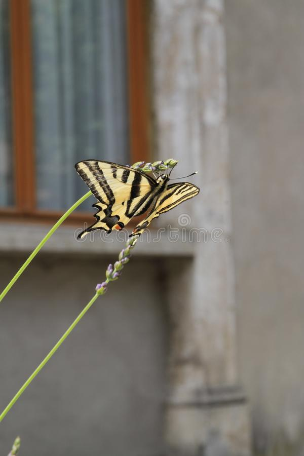 Yellow and black Butterfly on a lavender stalk. Blurred window and old stonework in the background royalty free stock image