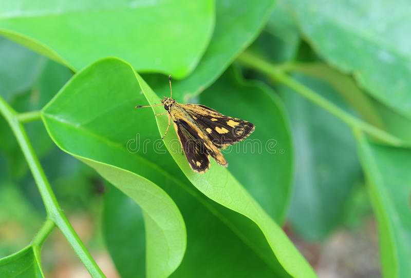 Yellow and Black Color Butterfly Resting on Vibrant Green Leaf. Close up stock image