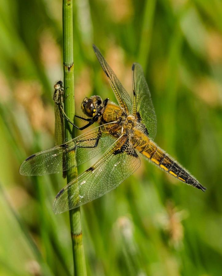 Yellow And Black Dragon Fly Perched On Green Stem On Close Up View Photography Free Public Domain Cc0 Image