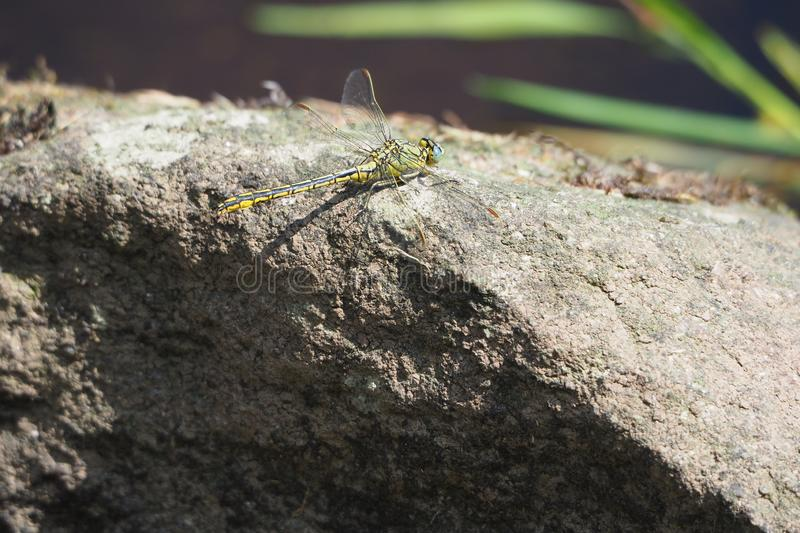 Yellow and black dragonfly perched on a rock in the river ulla, santiso, la coruña. Yellow and black dragonfly perched on a rock in the river ulla. insect royalty free stock images