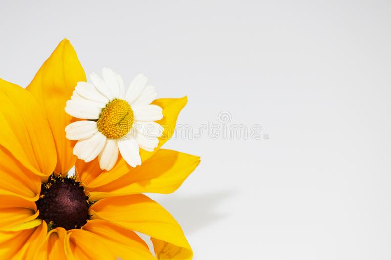 Yellow and black flower Rudbeckia fulgida and chrysanthemum like small chamomile, on a white background.  royalty free stock photo