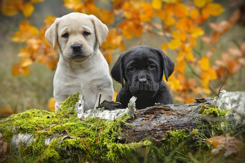 Yellow and black Labrador retriever puppies. In autumn scenery stock photos