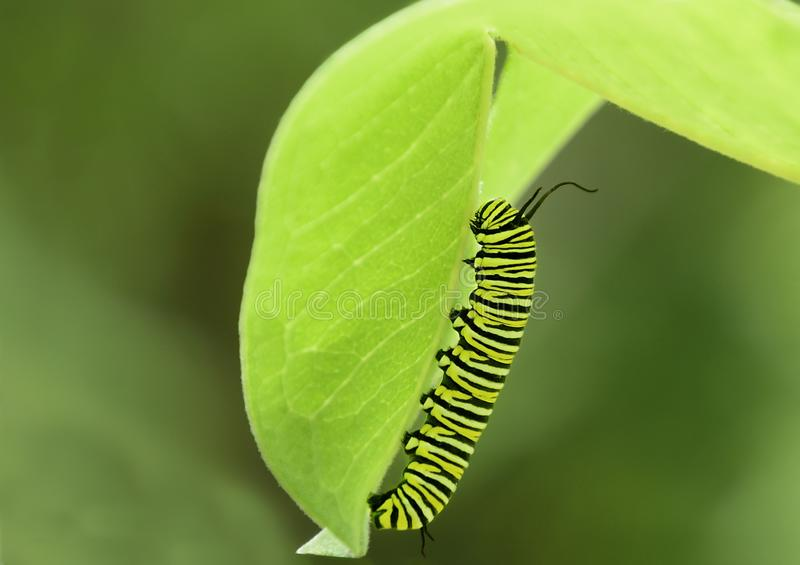 Close up of monarch butterfly caterpillar. Yellow and black monarch caterpillar on milkweed leaf with green background royalty free stock images