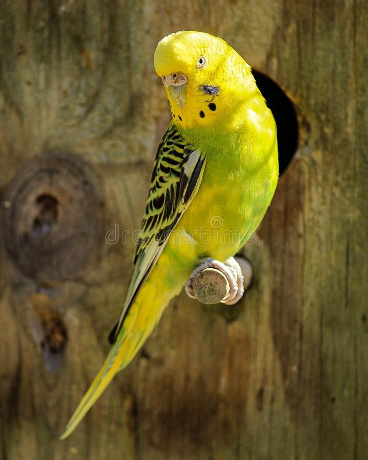 Yellow And Black Parakeet Free Public Domain Cc0 Image