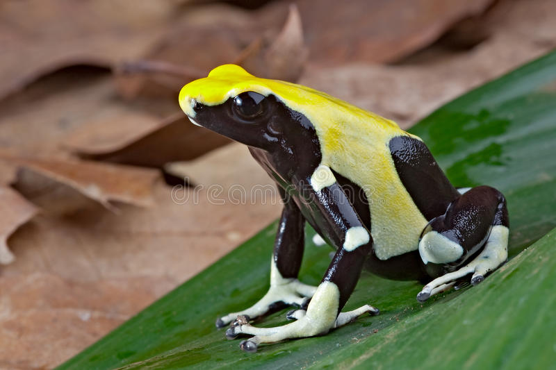 Yellow and black poison dart frog royalty free stock photo