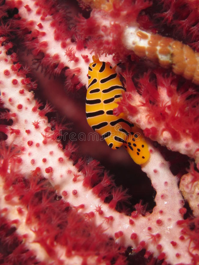 Yellow and black sea snail stock photography
