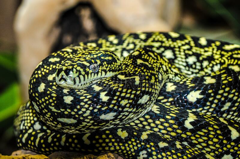 Yellow And Black Snake Free Public Domain Cc0 Image