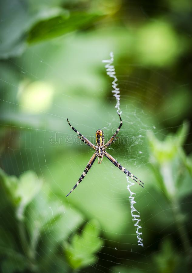 Yellow-black spider argiope. On the web royalty free stock photography