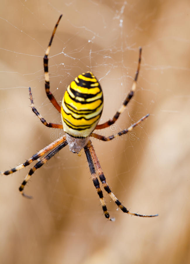 Free Yellow-black Spider In Her Spiderweb Royalty Free Stock Photos - 26614558