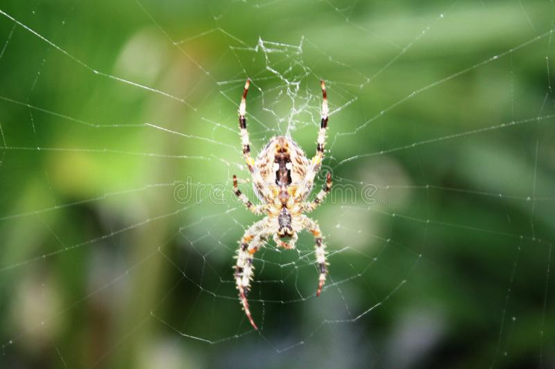 Yellow and Black Spider on Web royalty free stock photo