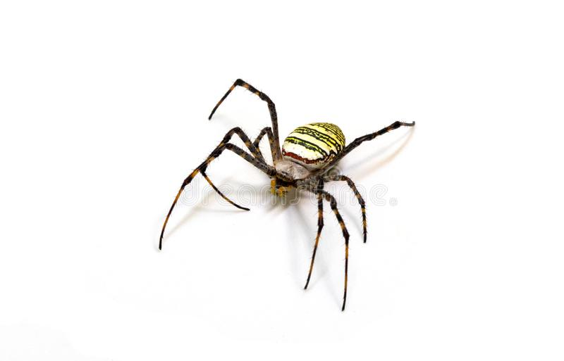 Yellow black spider on white background. Tropical insect crab spider closeup photo. Exotic spider detailed macrophoto. Striped insect. Creepy animal of tropic stock images