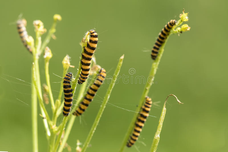 Yellow and black striped Cinnabar caterpillars feeding royalty free stock image