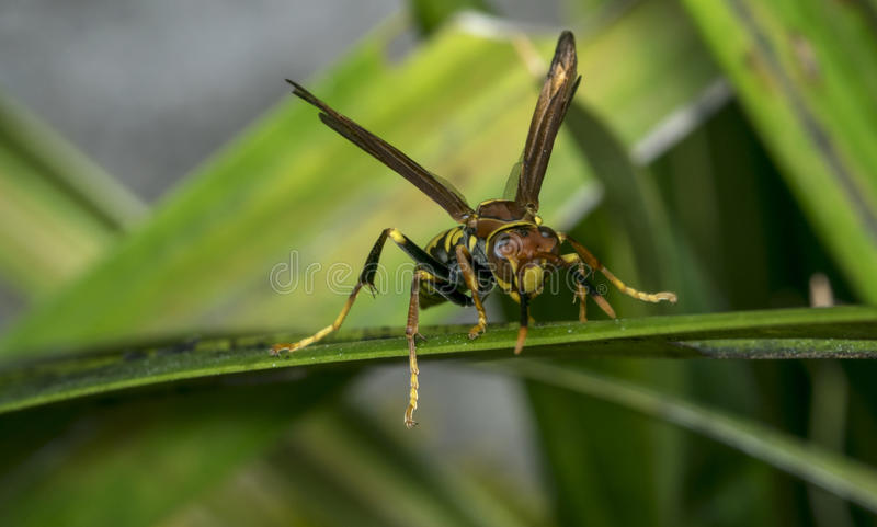 Yellow and black striped wasp resting on a leaf. Yellow and black striped wasp resting on a tree leaf royalty free stock photography