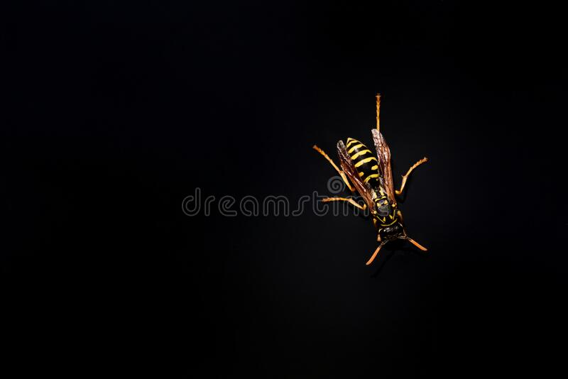 A yellow and black striped wasp. On a black background with space for text royalty free stock photos