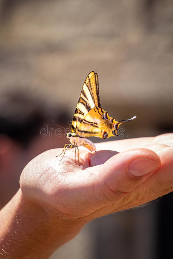 Yellow black swallowtail butterfly basks on a palm. On the roof of the Cathedral of Evora, Portugal stock photo