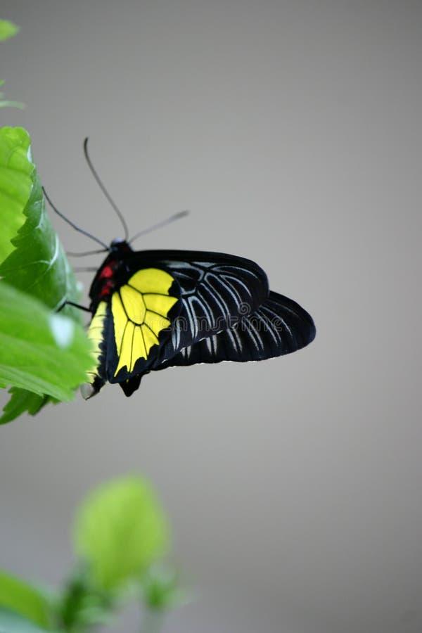 Bumblefly stock photo