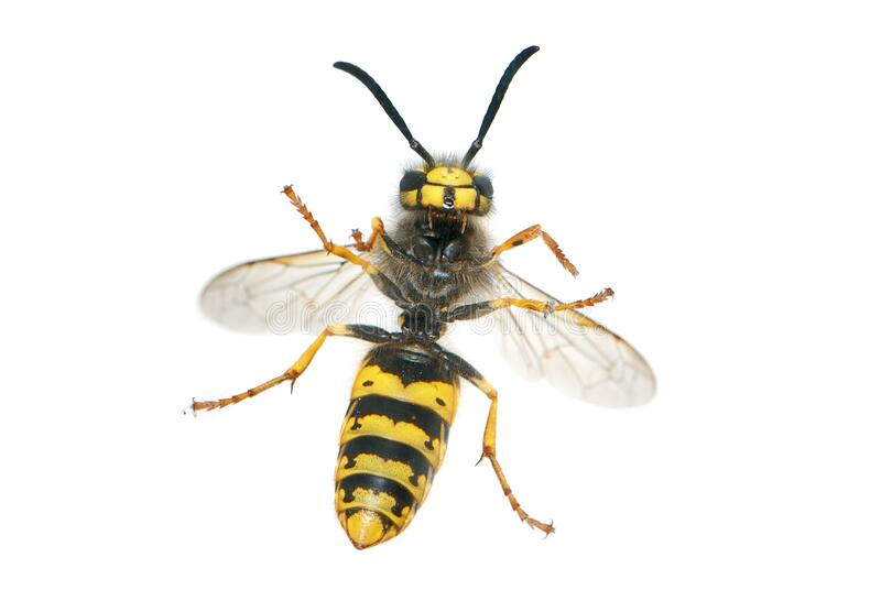 Yellow And Black Wasp Free Public Domain Cc0 Image