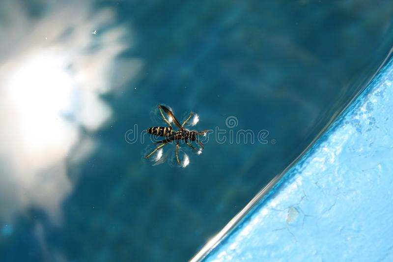 Yellow black wasp on a surface of swimming pool water. Contrast of yellow black wasp on a water and blue water of swimming pool and a light and soft touch of her stock photography
