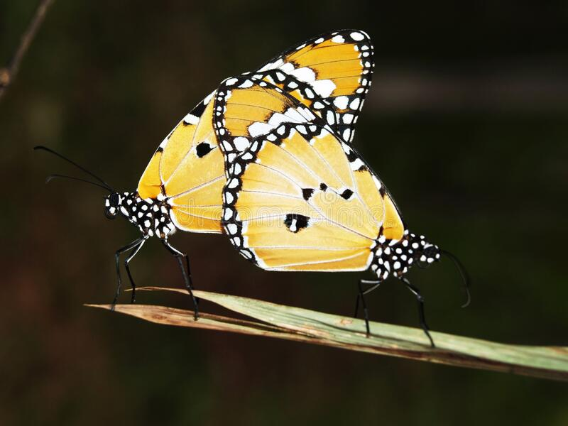 Yellow Black and White Monarch Butterfly stock image