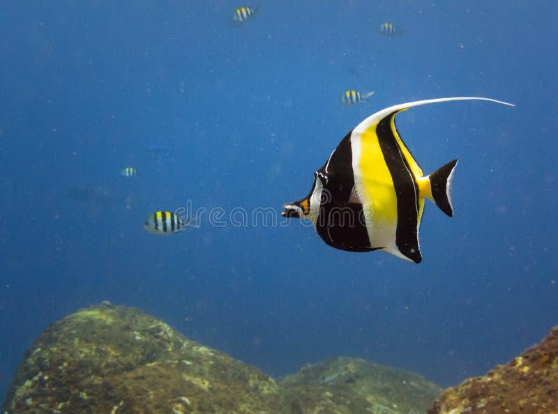 Yellow, black, white striped tropical fish swim Castle Rock Reef. Brilliant yellow, black, white striped tropical fish swim on Castle Rock Coral Reef in royalty free stock photos