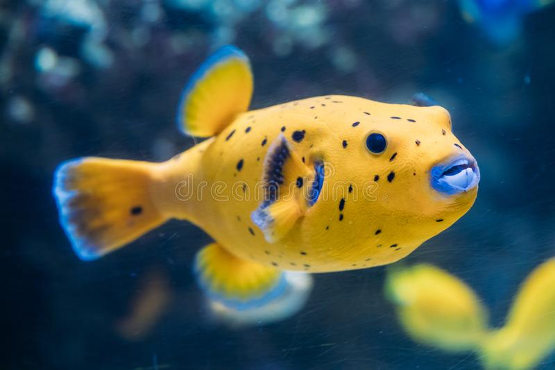 Yellow Blackspotted Puffer Or Dog-faced Puffer Fish Arothron Nigropunctatus Swimming In Water. If Not Prepared Properly, Toxin Found In Pufferfish stock image