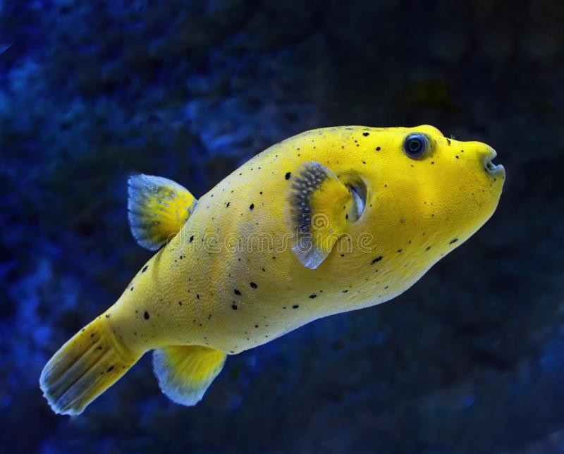 Yellow blackspotted Puffer fish against blue background side profile showing black spots and fins royalty free stock images