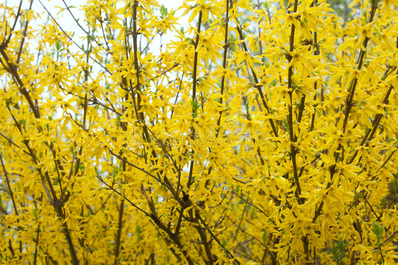 Yellow Bloom Bushes Of Forsythia Stock Photo Image Of