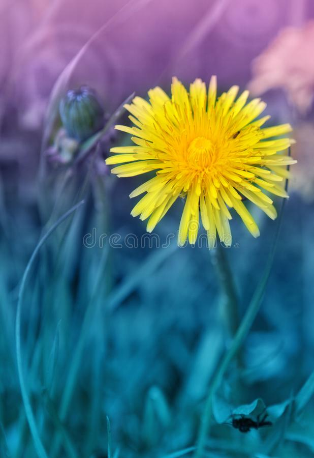 Yellow blooming dandelion in a blue lawn. Yellow dandelion growing on a lawn illuminated by the sunlight stock photography