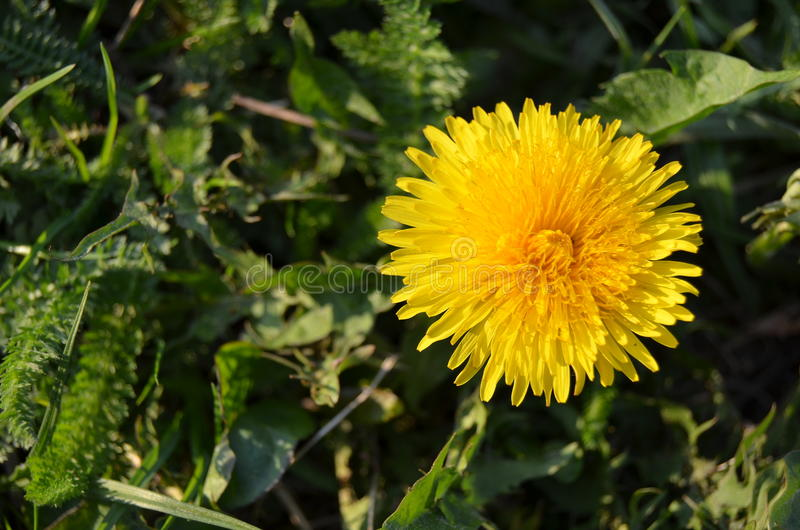 Yellow blooming dandelion royalty free stock photos