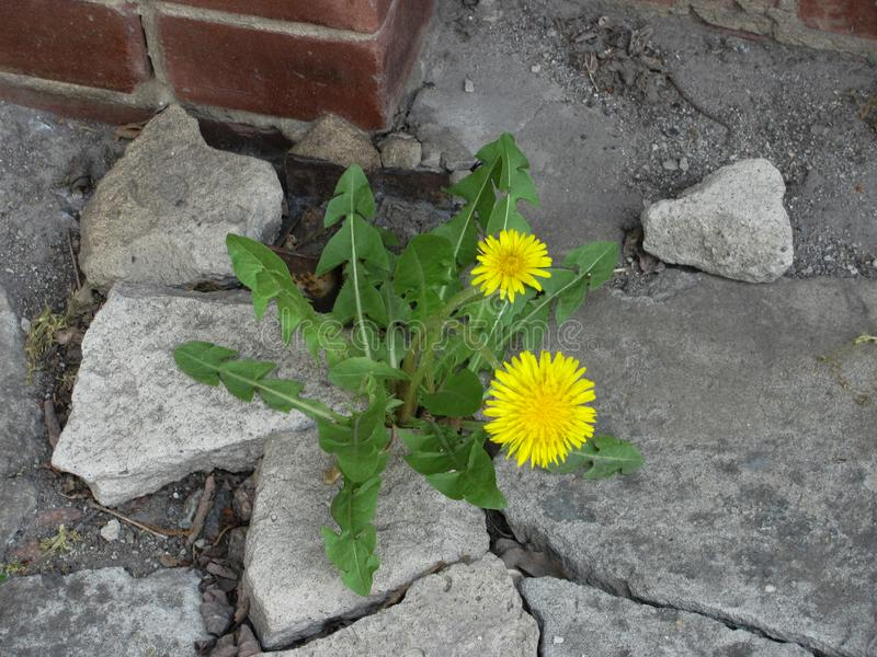 Blooming dandelions in the crack of concrete. Yellow blooming dandelions in the crack of concrete royalty free stock photos