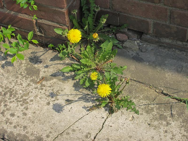 Blooming dandelions in the crack of concrete. Yellow blooming dandelions in the crack of concrete stock images