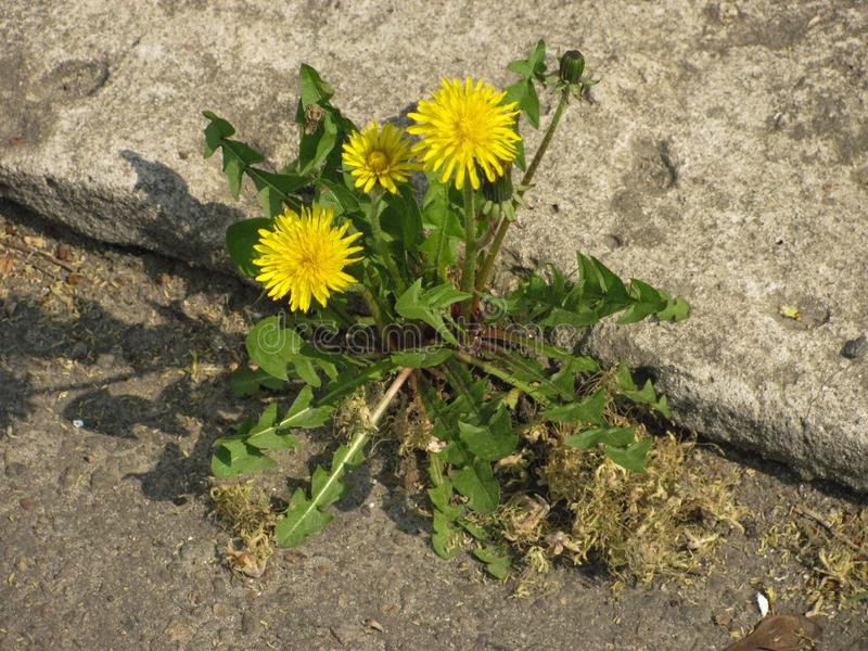 Yellow blooming dandelions in the crack. Of concrete royalty free stock photo
