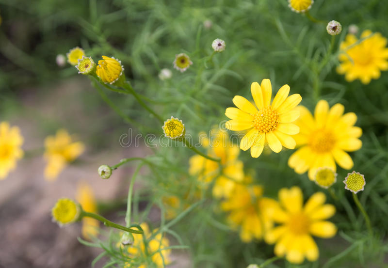 Yellow blooming flower royalty free stock photography