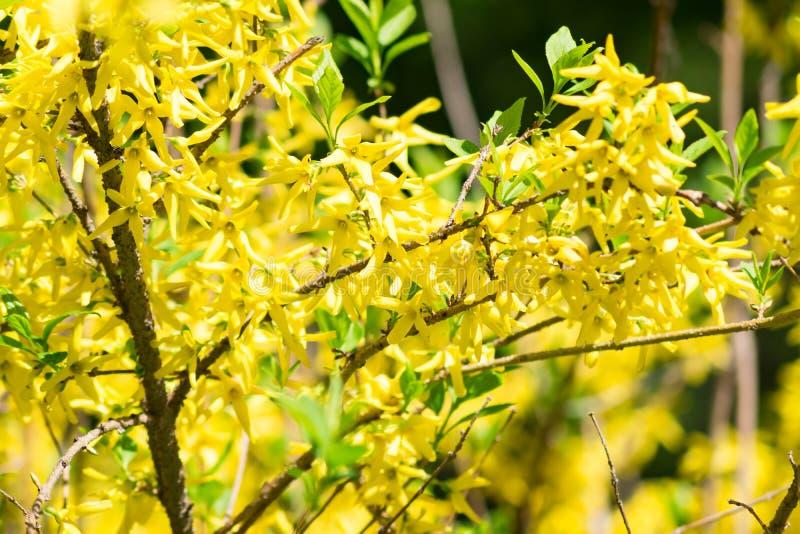 Yellow blooming Forsythia bush background, selective focus.  royalty free stock photos