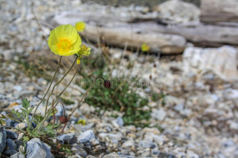 Yellow blooming poppy flower on the background of stones stock photos