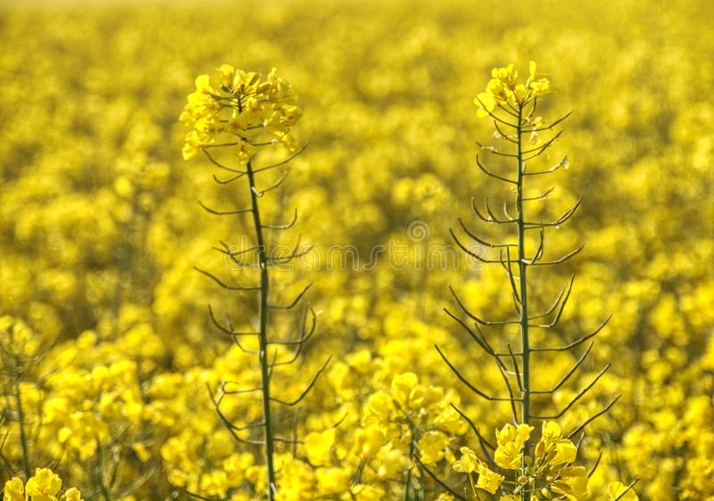 Surrounded By Canoloa Feilds Quotes: Blooming Canola Field And Trees In Spring Stock Photo