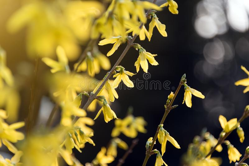 Yellow blooming tree branches. Bloomy spring bush.  royalty free stock images